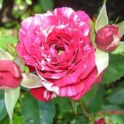 Роза спрей Арроу Фолиес (Arrow Follies) фото