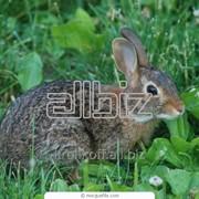 Шкуры кролика фото