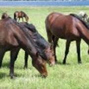 Лошадь башкирской породы фото