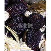 Кукуруза декоративная фото
