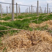 Шпалерный трос для винограда фото