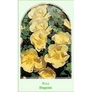 Парковые розы Hugonis фото