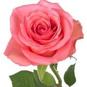 Роза из Кении фото