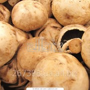 Выращивание грибов - вешенки фото