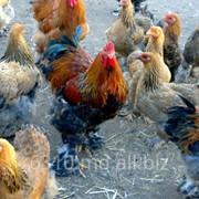 Куры мясные в Молдове фото