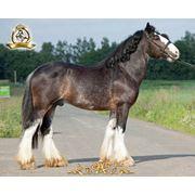 Лошадь породы Шайр фото