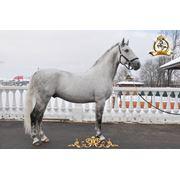 Лошадь породы Липициан фото