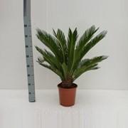 Пальма цикас Революта -- Cycas Revoluta фото