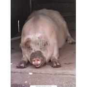 Научный подход в разведении племенных свиней фото