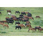 Продажа лошадей 1.5 года фото