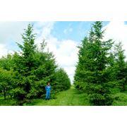 Посадка крупных деревьев фото