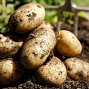 Фрукты, овощи, картофель, арбуз фото