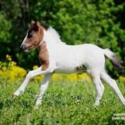 Племенная Шетлендская пони кобылка фото