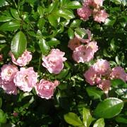 Саженец розы фото