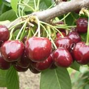 Селекция и сортоизучение плодовых культур фото