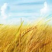 Пшеница второго класса фото