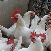 Цыплята домашние фото
