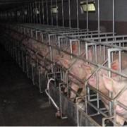 Проектирование и строительство свинокомплексов фото