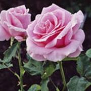 Розы вьющиеся фото