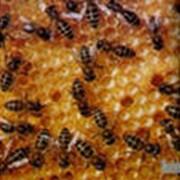 Пчелопакеты среднерусской пчелы 4-х рамочные фото
