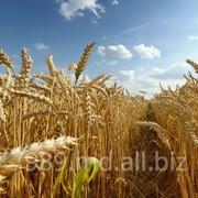 Продаем Пшеницу в Молдове,Купить пшеницу в Молдове фото