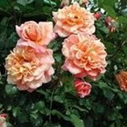 Роза плетистая Алоха фото