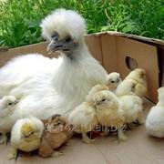Инкубационный яйца китайских шелковых фото