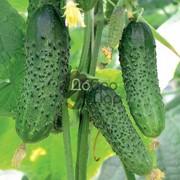 Среднеранний высокоурожайный сорт огурца, семена огурца фото