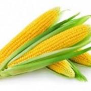 Семена кукурузы ЕС Метод фото