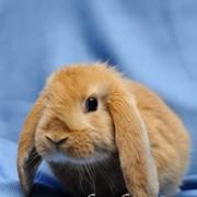 Кролик породы Карликовый баран фото