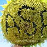 Семена подсолнечника АЛАМО F1 фото