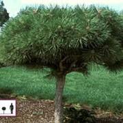 Сосна черная Пиеррик Брегеон (Pinus nigra 'Pierrick Bregon') фото