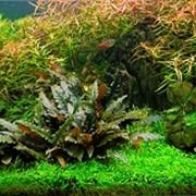 Аквариумное растение Криптокорина Пётча фото