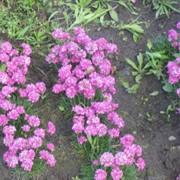 Почвопокровные Армерия, Ацена мелколистая, Виталина, Камнеломка красная фото
