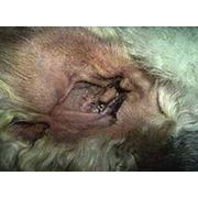 Чистка ушей собак фото
