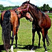 Лошади белорусской упряжной, русской тяжеловозной, русской рысистой и верховых пород фото