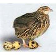 Птица яйцо перепелок фото