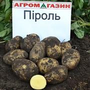 Картофель среднеспелый Пироль фото