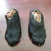 Лапы и желчь медведя фото