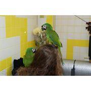 Каштановолобый ара или ара Сивера говорящий фото