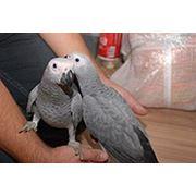 Жако алохвостый африканский серый попугай фото
