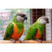 Сенегалы - ручные птенцы фото