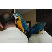 Птенцы Сине-желтого Ары фото