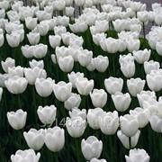 Тюльпаны . фото