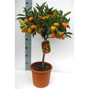 Цитрусовые (лимон, мандарин, каламондин) растения. фото