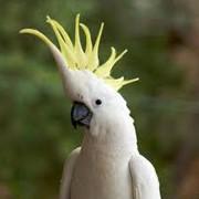 Какаду говорящий желто-хохловый фото