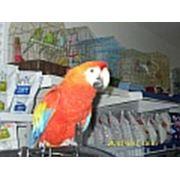 Попугаи ара фото