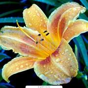 Луковицы лилий фото