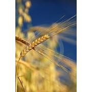 Семена озимой пшеницы. Сорт -Одесская 267 (1-я репродукция) фото