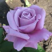 Роза Голубой Нил (Blue Nile) фото